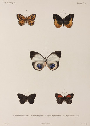 Five butterflies, New Guinea, 1822-1825.