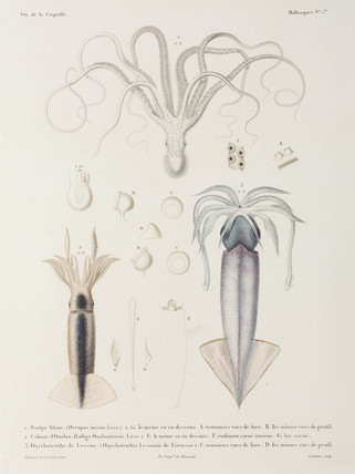 Octopus and squid, 1822-1825.