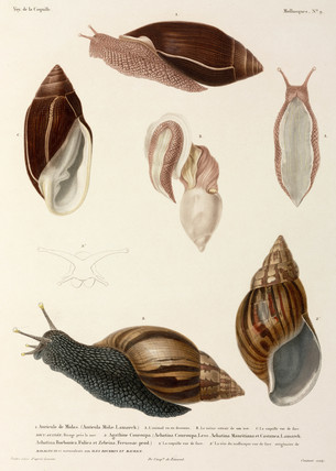 Snails, New Guinea, Madagascar and Mauritius, 1822-1825.