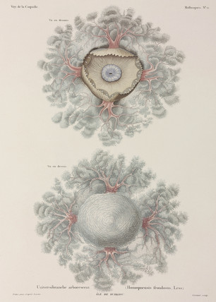 Jellyfish, Indonesia, 1822-1825.