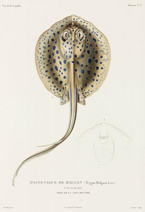 Stingray, New Ireland, (Papua New Guinea), 1822-1825.