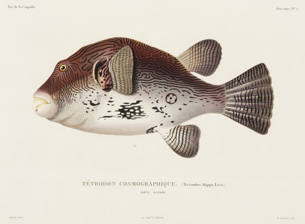 Puffer fish, New Guinea, 1822-1825.