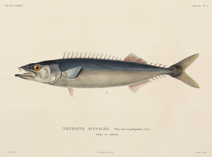 Barracuda, Brazil, 1822-1825.