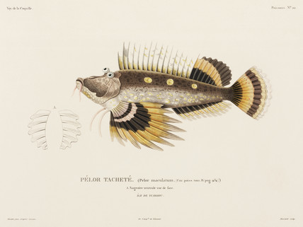 Spiny devilfish, 'Island of Waigiou', (Indonesia), 1822-1825.