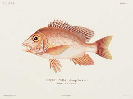Humpback red snapper, Society Islands Archipelago, 1822-1825.