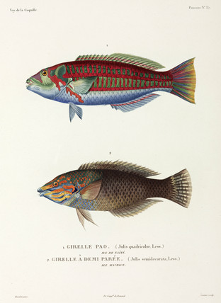 Two types of wrasse, Tahiti, (French Polynesia), and Mauritius, 1822-1825.