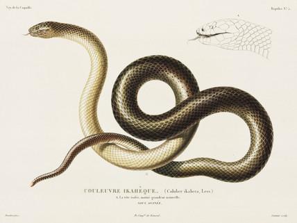 Snake, New Guinea, 1822-1825.