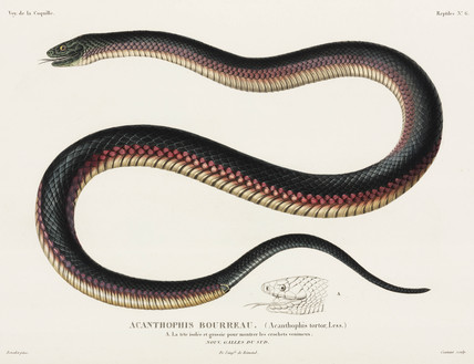 Venomous snake, New South Wales, 1822-1825.