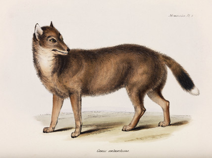 Fox, Falkland Islands, c 1832-1836.