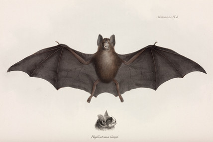 Silky short-tailed bat, South America, c 1832-1836.