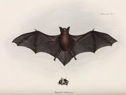 Bat, South America, c 1832-1836.