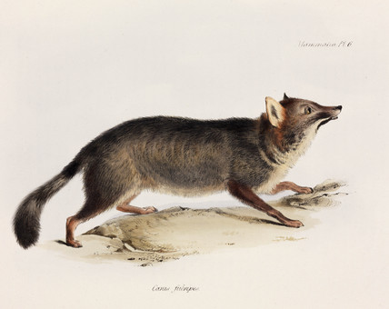 Fox, Chile, c 1832-1836.