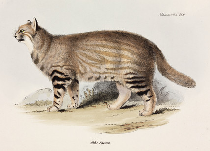 Pampas cat, South America, c 1832-1836.