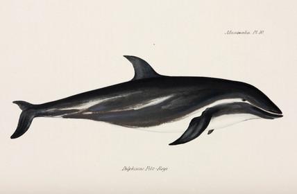 Dusky dolphin, 1832-1836.