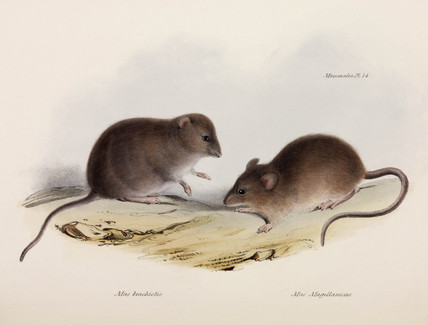 Two types of mouse, South America, c 1832-1836.
