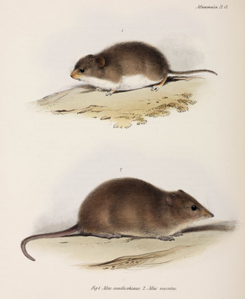 Two types of rodent, c 1832-1836.