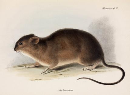 Rat, South America, c 1832-1836.