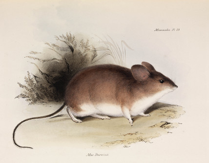 Darwin's mouse, c 1832-1836.