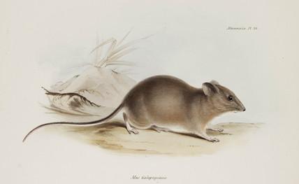 Mouse, Galapagos Islands, c 1832-1836.