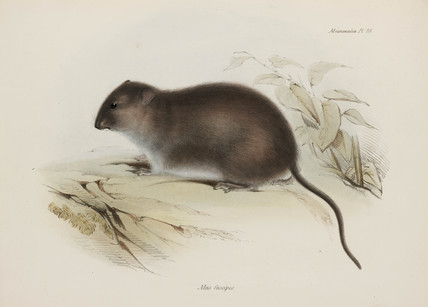 Bush or brown-footed rat, Australia, c 1832-1836.