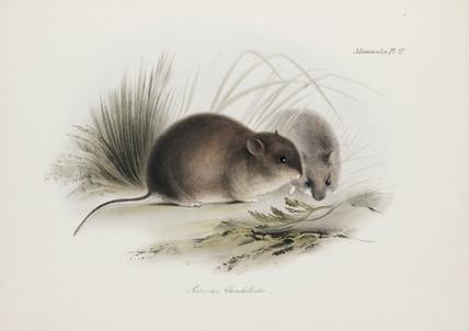 Mouse, Tierra del Fuego, South America, c 1832-1836.