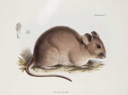 Bennett's chinchilla rat, South America, c 1832-1836.