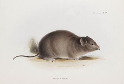 Rat, c 1832-1836.
