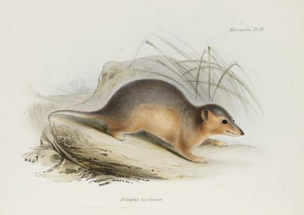 Opossum, c 1832-1836.