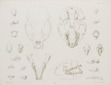 Animal skulls, jaws and teeth,, c 1832-1836.