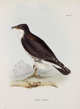 Falcon, South America, c 1832-1836.