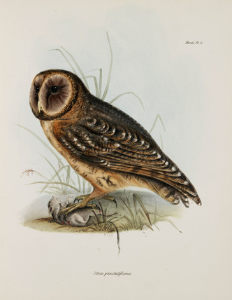 Owl, South America, c 1832-1836.