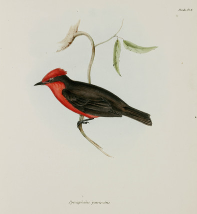 Red-crested bird, c 1832-1836.