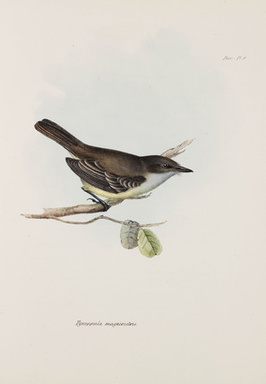 Flycatcher, c 1832-1836.