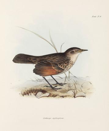 Flycatcher, c 1832-1836.