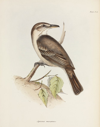 Grey-bellied shrike-tyrant, c 1832-1836.
