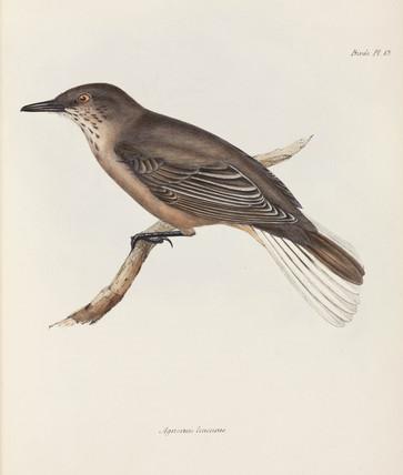Shrike, c 1832-1836.