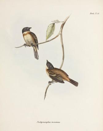 Becard birds, South America, c 1832-1836.