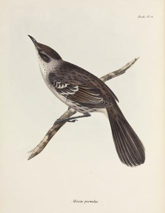 Mockingbird, Galapagos Islands, c 1832-1836.