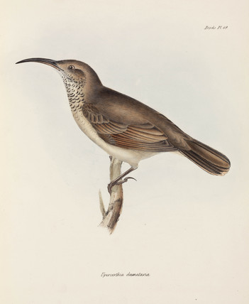 Bird with curved beak, c 1832-1836.