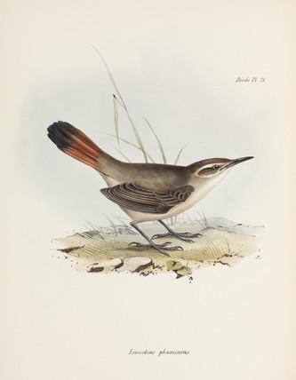 Band-tailed earthcreeper, South America, c 1832-1836.