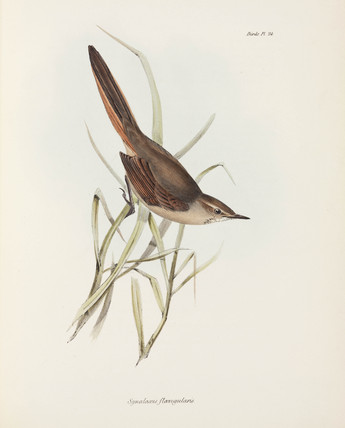 Spinetail, South America, c 1832-1836.