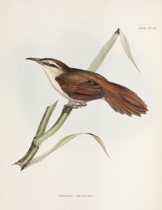Curve-billed reedhaunter, Argentina, c 1832-1836.