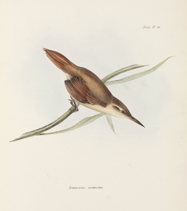 Straight-billed reedhaunter, Argentina, c 1832-1836.