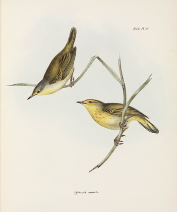 Warblers, c 1832-1836.