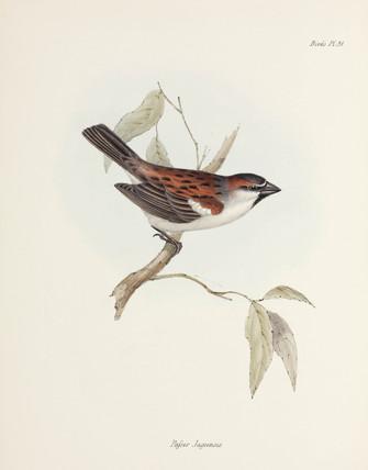 Sparrow, c 1832-1836.
