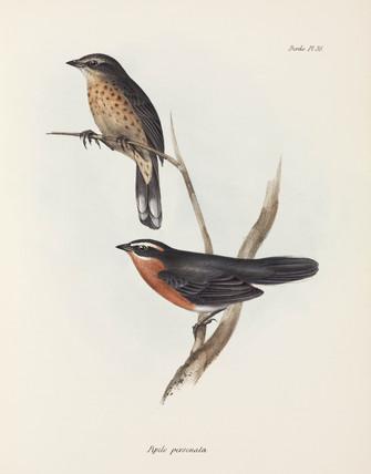 Pipilo personata, c 1832-1836.