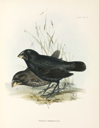 Pair of Large Ground Finches, Galapagos Islands, c 1832-1836.