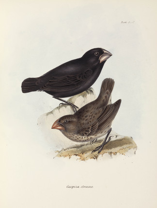 Pair of finches, Galapagos Islands, c 1832-1836.