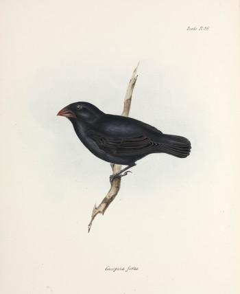 Medium Ground Finch, Galapagos Islands, c 1832-1836.