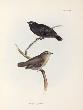 Pair of Small Tree Finches, Galapagos Islands, c 1832-1836.